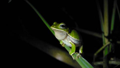 諸羅樹蛙寫真影片